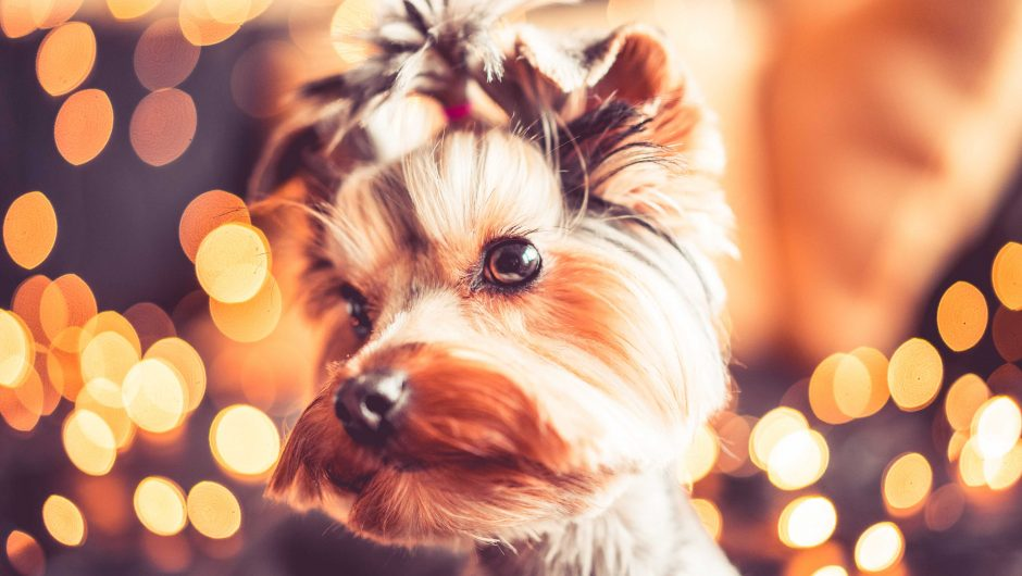 Wonderful Christmas Portrait of Cute Yorkshire Terrier