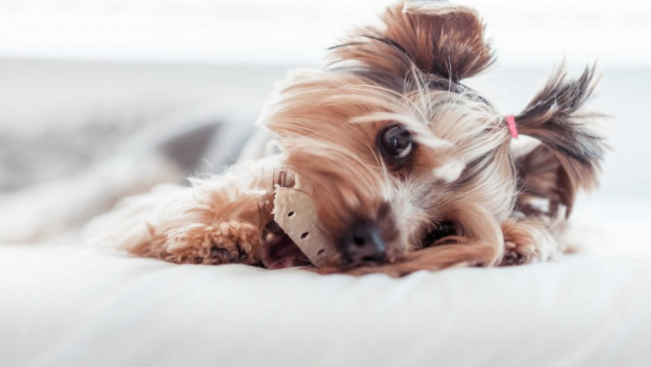 Yorkshire Terrier Eating Treats in Bed
